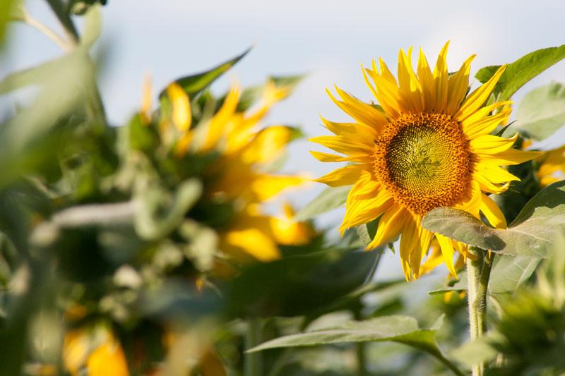Sonnenblume, Agarumweltmaßnahmen auf der Seenlandfarm, Foto Mathias Priebe